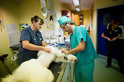 Standard poodle being prepared for keyhole surgery at Rushcliffe Veterinary Surgery, Nottingham, UK<br /> Photo: Ed Maynard<br /> 07976 239803<br /> www.edmaynard.com