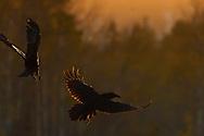 Eurasian Common Raven birds, Corvuz corax, photographed in action at sunset in Kalvtrask, Vasterbotten, Sweden