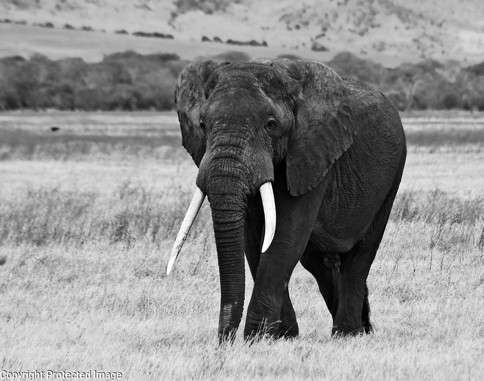 An Elephant in the Ngorongoro Crater In Tanzania (Black & White)