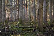 Sunrise shines between spruce trees (Picea abies) in foggy spring morning in boreal forest with woodland key habitat quality, Kemeri National Park (Ķemeru Nacionālais parks), Latvia Ⓒ Davis Ulands   davisulands.com