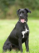 Black & White Labrador Cross Dog, UK, sitting, panting, tongue