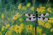 Morning dew adorns a spider web and a Twelve-spotted Skimmer, who awaits the freeing rays of the sun.