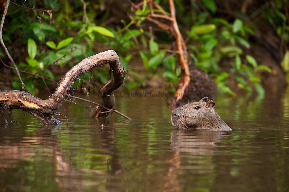 Capybara (Hydrochoerus hydrochaeris)<br /> Rainforest<br /> Rewa River<br /> Iwokrama Reserve<br /> GUYANA. South America<br /> RANGE: South America (including Panama, Costa Rica, Colombia, Ecuador, Bolivia, Venezuela, Brazil, Argentina, Guyana, Suriname, French Guyana, Uruguay, Peru, and Paraguay