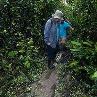 An Indian guide helps an adventurous hiker cross a swamp near the Yanayacu River in Peru's Amazon Jungle.