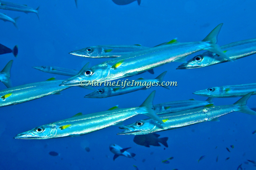 Bigeye Barracuda school in open water. Picture taken Mary Island, Soloman Islands.