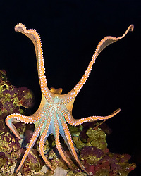 day octopus, or big blue octopus, Octopus cyanea, stretching tentacles, Oahu, Hawaii, USA (c)