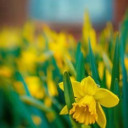 Daffodils at Prescott Park in Portsmouth, New Hampshire.