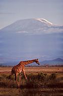 Giraffe near Mountain