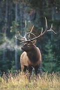 Bull elk (Cervus canadensis) during the autumn rut