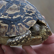 """Leopard Tortoise, Part of the """"Small 5"""" in Africa. Londolozi Game Reserve, South Africa."""