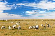 Sheep<br /> Carmichael<br /> Saskatchewan<br /> Canada