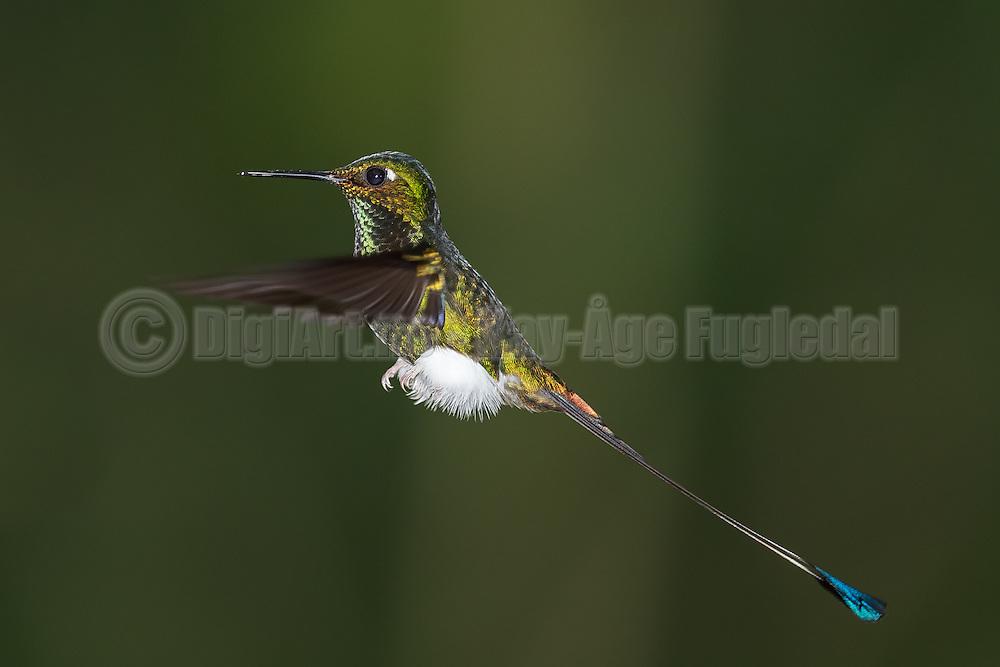 This Hummingbird in flight is called Booted Racket-tail, and was captured in Ecuador yesterday | Denne flygende kolibrien heter Vimpelkolibri, og vart fotografert i Ecuador i går.