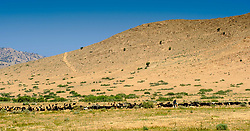 A shepherd  with a large herd of goats in southern Morocco<br /> <br /> (c) Andrew Wilson   Edinburgh Elite media