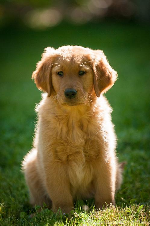 Nine week old golden retriever puppy