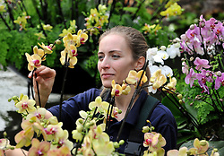 ©London News pictures. 03.02.2011. Anne Rostek adds the final orchids to a display in the tropical glasshouse at Kew Gardens today (Thur). The launch of Kew Garden's Tropical Extravaganza. This theme celebrates the fact that 2011 has been designated the Year of the Forest by the UN. It is attempting to celebrate the rainforests' beauty as well as highlight the dangers that they are facing. The display includes varieties of Orchids, Anthuriums, Tillandsias and Aechmeas. Picture Credit should read Stephen Simpson/LNP