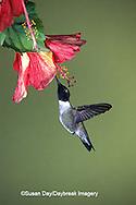 01161-001.05 Black-chinned Hummingbird (Archilochus alexandri) male on hibiscus flower   AZ