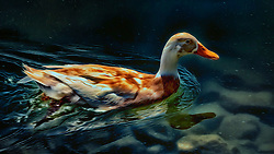 A Dabbling Duck swimming in the shallow waters of one of the blue lakes in New Town - Saint Charles, Missouri