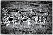 06-11-2017 Foto's genomen tijdens een persreis naar Buffalo City, een gemeente binnen de Zuid-Afrikaanse provincie Oost-Kaap. Inkwenkwezie Private Game Reserve - Zebra's