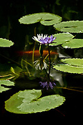 Goldfish pond on the grounds of the Jim Thompson house in Bangkok.  Purple lotus is blooming while a goldfish swims just under the surface of the water.  Seven flad lily pads surround the fish and the lotus in an oval design.