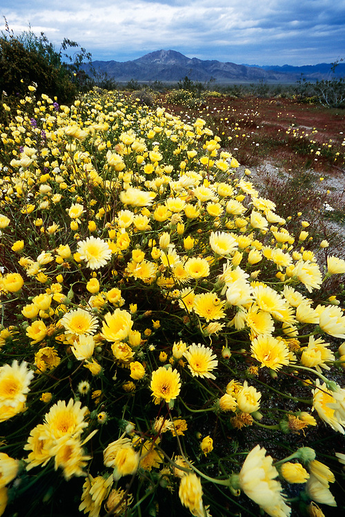 Desert dandelions, March, Joshua Tree National Park, California, USA.