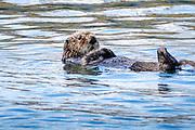 A northern sea otter floats along on Kamishak Bay at the City of Homer Port & Harbor marina in Homer, Alaska. A northern sea otter floats along on Kamishak Bay at the City of Homer Port & Harbor marina in Homer, Alaska.