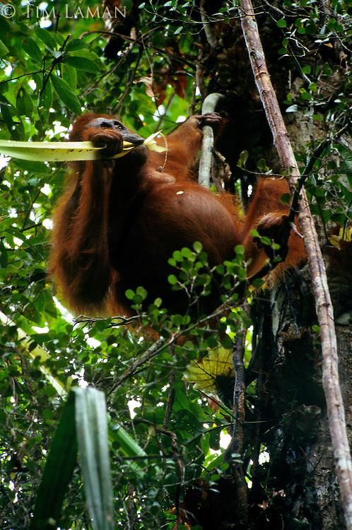 Adult female Bornean Orangutan (Pongo pygmaeus) feeding on the celery like stems of the Pandanus plant.  Gunung Palung National Park, West Kalimantan, Indonesia.