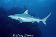 blacktip shark, Carcharhinus limbatus, female with mating scars, Walker's Cay, Abaco Islands, Bahamas ( Western Atlantic Ocean )