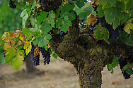old growth grapevine in a Napa Valley vineyard