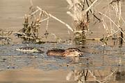 Muskrat in Wyoming Muskrat in marsh in Wyoming