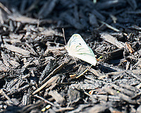 Cabbage White (Pieris rapae) Butterfly.  Image taken with a Leica SL2 camera and 90-280 mm lens.