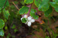 The common snowberry is a found throughout most of central and northern North America and is most commonly seen in lower-elevations mountainous forests where it can form immense thickets. Although it is a staple food source for many birds and mammals such as deer, bears, and bighorn sheep, all parts of the plant and fruit are somewhat toxic to humans if eaten in quantity, although many native tribes used them medicinally. Only the Sqauxin Indians of the Olympia, Washington area are reported to have eaten them regularly. These were found and photographed in the Mercer Sough of Bellevue, Washington.