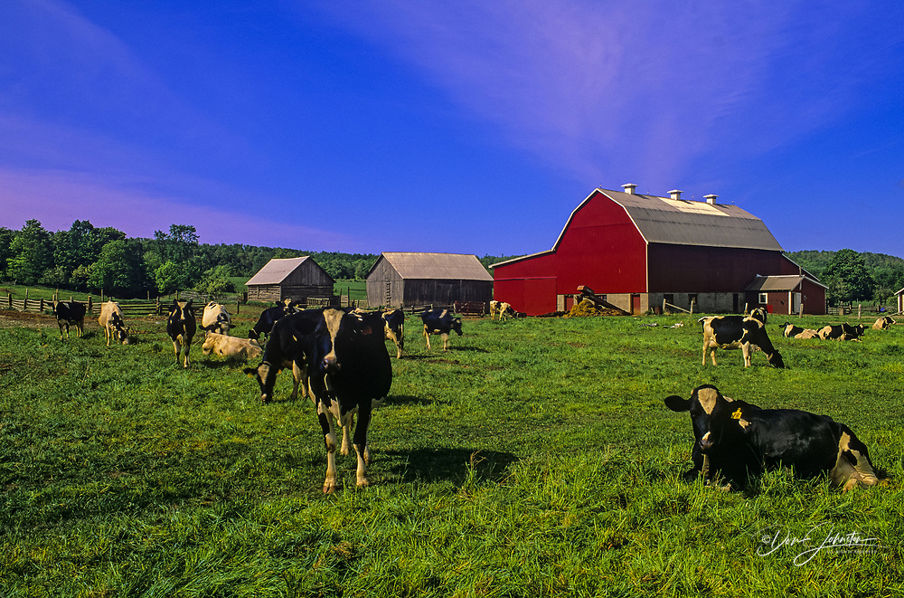 Cattle and barn in spring pasture, near Kagawong, Ontario, Canada