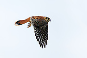 Stock photo of American Kestrel captured in Colorado.  North Americas smallest falcon.  These birds pack a lot of ferocity into it's small body.  They are also the most colorful raptor.