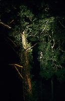 Photographer Tim Laman and colleagues climbing up a dipterocarp tree.