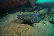A female Kapango, Bagrus meridionalis, a large endemic catfish found in Lake Malawi, rests in a cave at Masimbwe Island. This species, considered a delicacy and a major source of protein for coastal communities, is overfished in many parts of the lake.