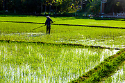 One rice farmer in his rice field with a pole is working and he is silhouetted. RAW to Jpg