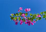 Bougainvillea in bloom.
