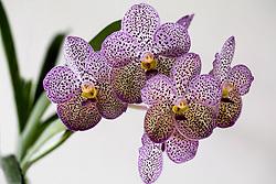 Purple Spotted Vanda Orchid #1