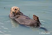 sea otter, Enhydra lutris ( Endangered Species ), Valdez, Alaska ( Prince William Sound )