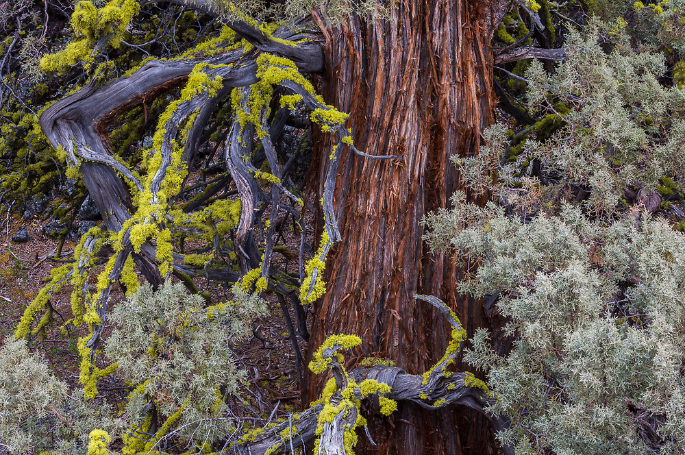 Western juniper tree (Juniperus occidentalis) with lichen on limbs, overcast light, April, Lava Beds National Monument, California, USA