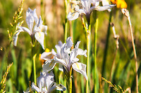 Very pale specimens of the rocky mountain iris growing in a depression on the eastern slopes of the Rocky Mountains in rural Wyoming.