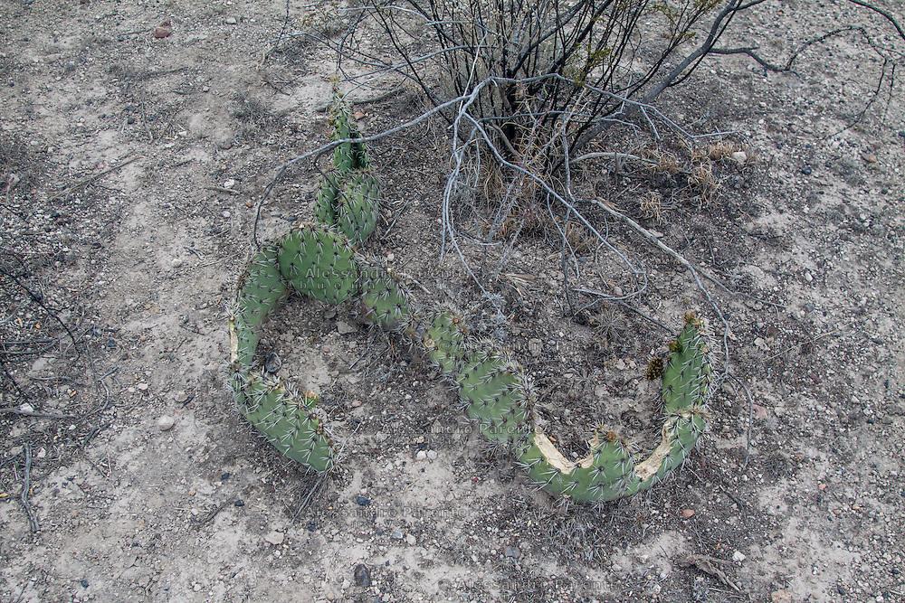 Un cactus del deserto.<br /> Desert cactus.