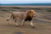 A male lion, Panthera leo, running.