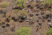 Un troupeau de boeufs mené par des éleveurs nomades traverse la savane boisée de l'est de la République centrafricaine, non loin des frontières de la réserve de Chinko. Les vols de surveillance quotidien permettent à African Parks, l'ONG sud-africaine qui gère l'aire protégée, de repérer toute incursion illégale dans Chinko.