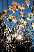 Leaves and mature seed-heads of Giant Reed Arundo donax on the banks of the river Orbue, 28th December 2016, Lagrasse, France.