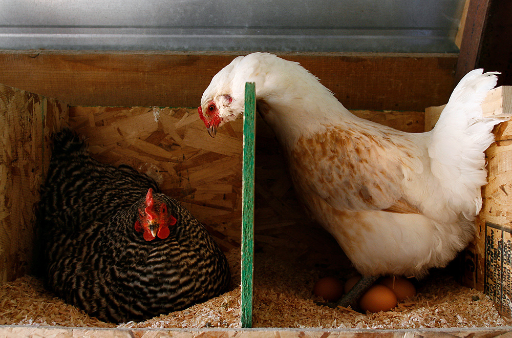 An Americana hen peeks over the wall of a nest box inside the chicken coop in search of a better place to lay her eggs after sitting on another hen's at Greene Hills Farm in Benton City. The farm opted out of official organic certification, but still practices organic farming.