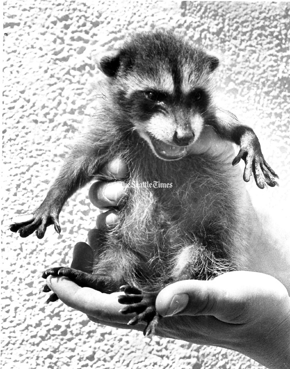 Racquel, the orphan raccoon, grew too big and demanding for her foster mother, a cat at the city animal shelter. Animal shelter employees worked with the Game Department to teach her to fend for herself and set her free when she was old enough. (Ron De Rosa / The Seattle Times, 1979)