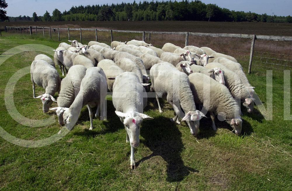 fotografie Maurice Blok©2001 .010625 heerde ned.veluwse schapen terug  op de schaapskooi in heerde die getransporteerd werden vanaf de schaapskooi in lemele naar hun huidige woonplaats waar ze werden opgewacht door een grote groep mensen die die nieuwe schapen willen zien