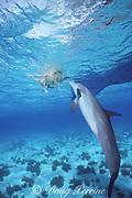 JoJo, a wild sociable bottlenose dolphin, Tursiops truncatus, plays with Toffee, a golden labrador retriever ( domestic dog ),  Turks and Caicos ( Western Atlantic Ocean )