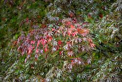 Acer palmatum 'Burgundy Lace' AGM - Japanese maple